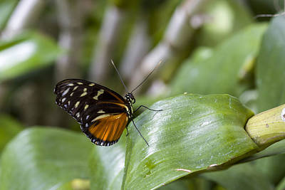 Photograph - Tiger Longwing Butterfly by Jack R Perry