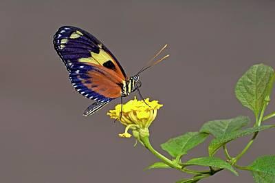 Tiger Longwing Butterfly On A Flower Art Print by Bildagentur-online/mcphoto-schulz