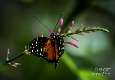 Photograph - Tiger Longwing by Ronald Grogan