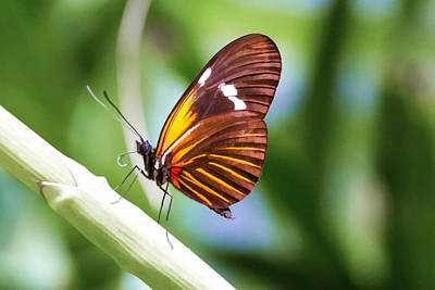 Digital Art - 00012 Tiger Longwing  by Photographic Art by Russel Ray Photos