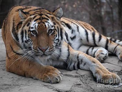 Tiger Love Art Print by Jennifer Craft