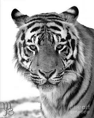 Photograph - Tiger  by Mindy Bench