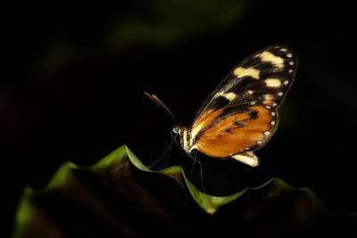 Photograph - Tiger Monarch Butterfly by Zoe Ferrie