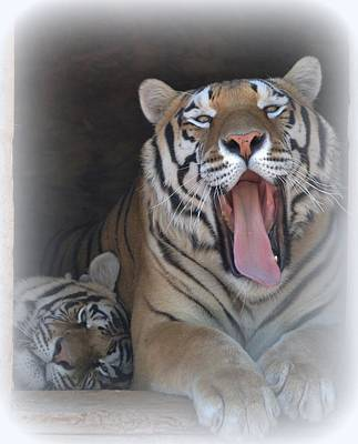 Photograph - Tiger Nap Time by Diane Alexander