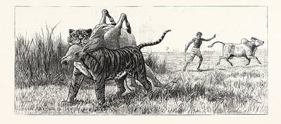 Tiger-netting In Bengal As The Tiger Shoulders His Victim Art Print by English School