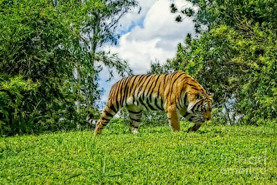 Photograph - Tiger by Olga Hamilton