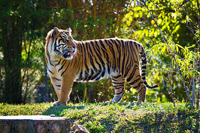 Photograph - Tiger On The Prowl by Vanessa Valdes