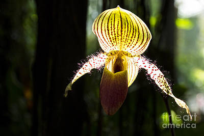 Romagosa Photograph - Tiger Orchid by Juan Romagosa