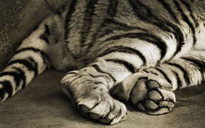 Large Cats Photograph - Tiger Paws by Dan Sproul