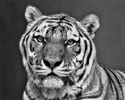 Photograph - Tiger Portrait - Black And White by Nikolyn McDonald