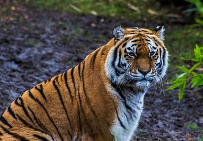 Animals Royalty-Free and Rights-Managed Images - Tiger Portrait by Martin Newman