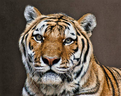Photograph - Tiger Portrait by Nikolyn McDonald
