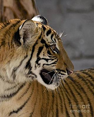 Photograph - Tiger Profile by Carol  Bradley