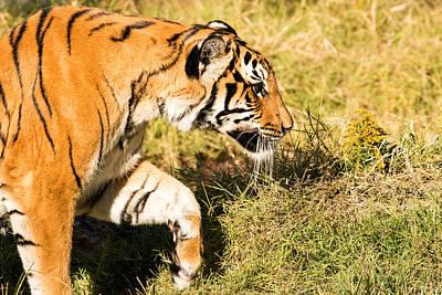 Photograph - Tiger Prowl by John Ferrante