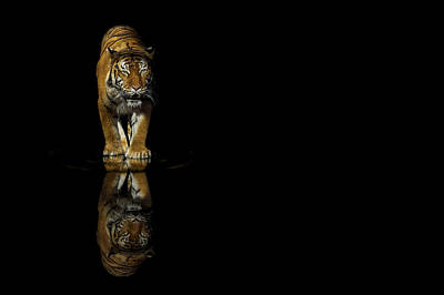The Tiger Hunt Photograph - Tiger Reflections - Big Cat - Predator by Jason Politte