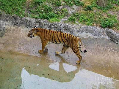 Photograph - Tiger Reflections by D Hackett