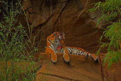Art Print featuring the photograph Tiger Resting by Andy Lawless