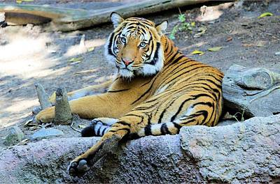 Photograph - Tiger Resting by Jane Girardot