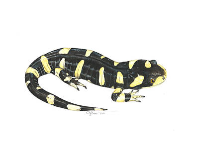 Salamanders Painting - Tiger Salamander by Cindy Hitchcock