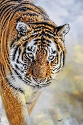 Photograph - Tiger Sparkle by Emily Stauring