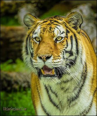 Tiger Stare Art Print by LeeAnn McLaneGoetz McLaneGoetzStudioLLCcom