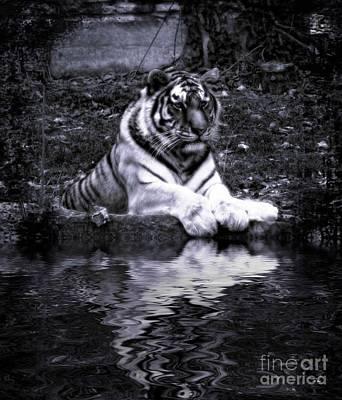 Photograph - Tiger Stare by Ms Judi