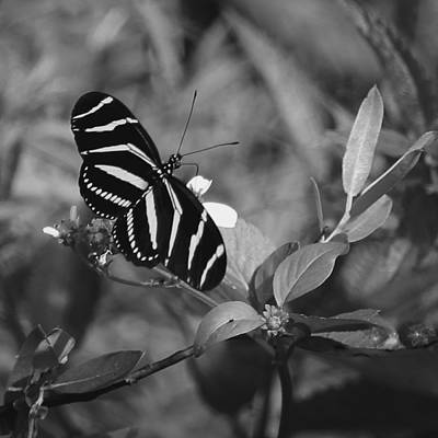 Photograph - Tiger Stripe Butterfly by Joseph G Holland