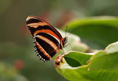 Photograph - Tiger Striped Butterfly by Sandy Keeton