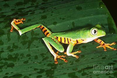 Tiger-striped Leaf Frog Art Print