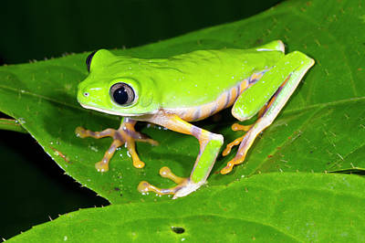 Frog Photograph - Tiger-striped Monkey Frog by Dr Morley Read