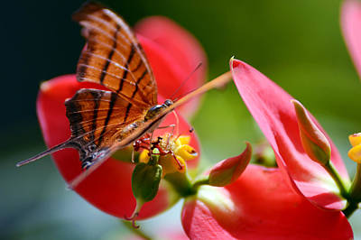 Photograph - Tiger Stripped Butterfly by Vanessa Valdes