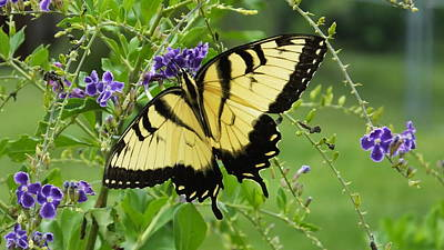 Photograph - Tiger Swallowtail 8 4 14 by Judy Wanamaker
