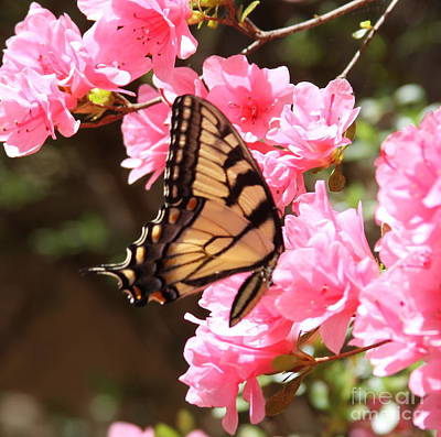 Garden Photograph - Tiger Swallowtail And Azaleas by Cathy Lindsey