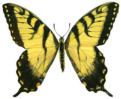 Animals Drawing - Tiger Swallowtail  by Anonymous