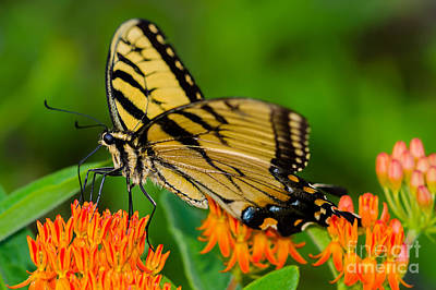 Photograph - Tiger Swallowtail by Anthony Heflin
