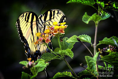 Photograph - Tiger Swallowtail by Barbara Bowen