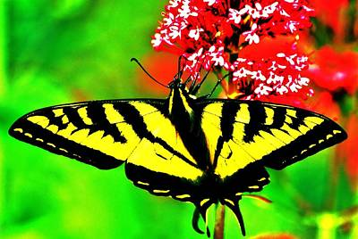 Royalty-Free and Rights-Managed Images - Tiger Swallowtail by Benjamin Yeager
