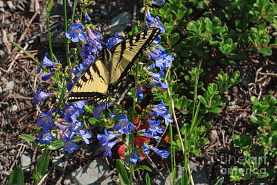 Photograph - Tiger Swallowtail Breakfast by Charles Kozierok