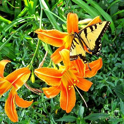 Photograph - Tiger Swallowtail Butterfly 2 by Nancy Patterson