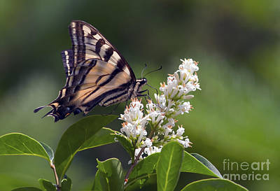 Tiger Swallowtail Butterfly 2 Print by Sharon Talson