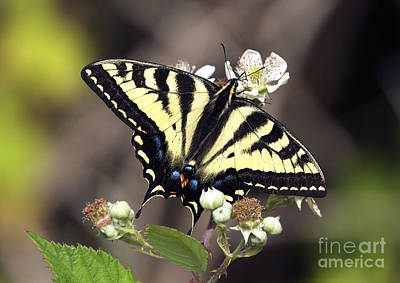 Tiger Swallowtail Butterfly 2a Art Print by Sharon Talson