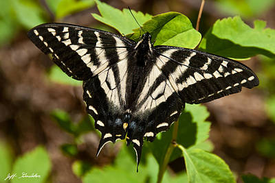 Art Print featuring the photograph Tiger Swallowtail Butterfly by Jeff Goulden