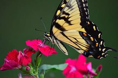 Tiger Swallowtail Butterfly Art Print