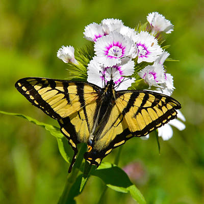 Photograph - Tiger Swallowtail Butterfly by Ken Stampfer