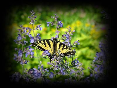 Photograph - Tiger Swallowtail Butterfly On Catmint by MTBobbins Photography