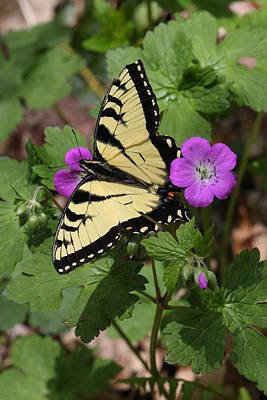 Photograph - Tiger Swallowtail Butterfly On Geranium by Daniel Reed