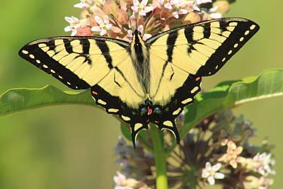 Photograph - Tiger Swallowtail Butterfly On Milkweed by John Burk