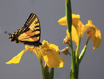Photograph - Tiger Swallowtail Butterfly On Yellow Flag Iris by John Burk