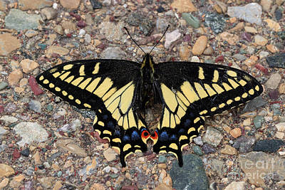 Photograph - Tiger Swallowtail by Charles Kozierok