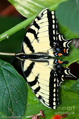 Photograph - Tiger Swallowtail Exposed by Susan Herber